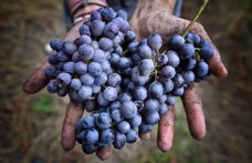 Piedmont: Nebbiolo's noble cousin is Freisa