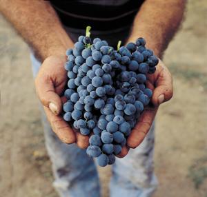 Feudi-san-Gregorio-grappolo-aglianico-2