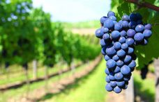 The history of Primitivo wine. From the Balkans to the USA