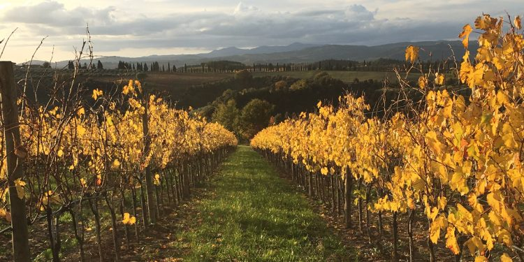 Banfi Sangiovese changes shape in the vineyard