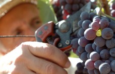 Wine Harvest 2014: tell me the truth!