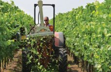 Canopy thinning is good for Sangiovese