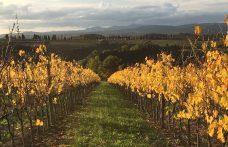 Banfi Sangiovese changes shape in the vineyard