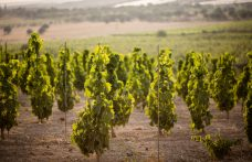 Val di Noto, Pachino. The dawn of a new red