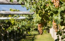 White wines from Piedmont. Erbaluce to be rediscovered